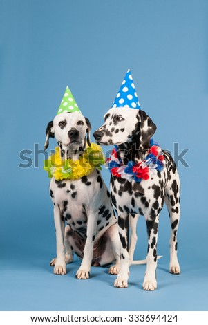 Portrait pure breed Dalmatian dogs with birthday hat and chains in studio on blue background - stock photo