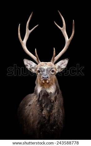 Portrait red deer on dark background - stock photo