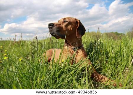 Portrait Rhodesian Ridgeback dog in grassland - stock photo