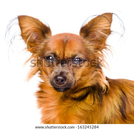 Portrait Russian toy terrier in front. isolated on white background