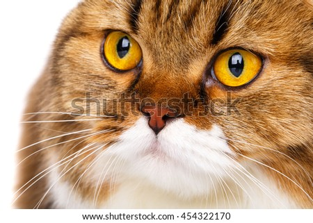 portrait serious orange and white Scottish Fold cat with big yellow eyes isolated on white background and look in camera - stock photo