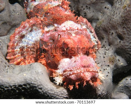 portrait shoot of scorpionfish - stock photo