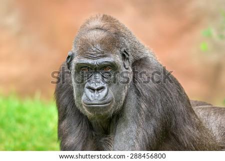 Portrait shot of a big western lowland gorilla - stock photo