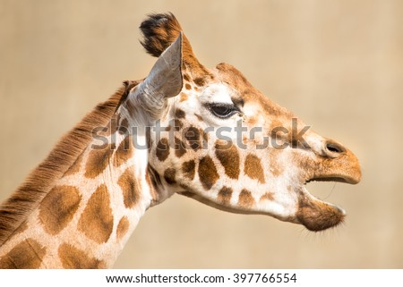 Portrait shot of a Giraffe with its mouth open