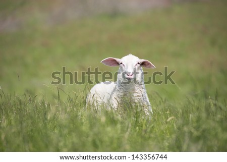 Portrait single sheep standing in high grass of meadow at sunny summer day outdoor, with blurred background of green field.