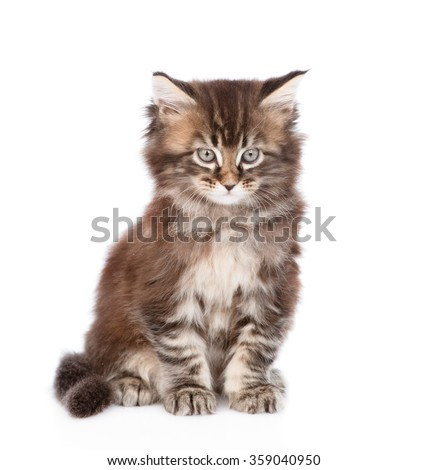 Portrait small maine coon cat. isolated on white background