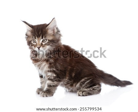 Portrait small maine coon kitten. isolated on white background - stock photo