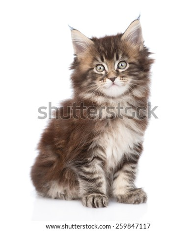 Portrait small maine coon kitten. isolated on white background