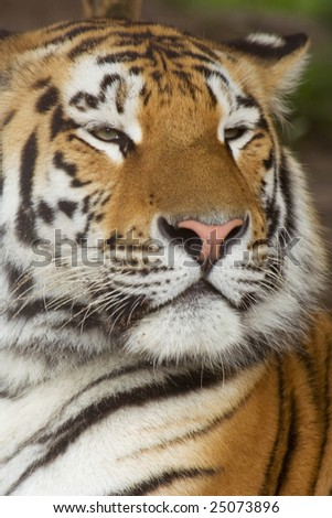 Portrait tiger photograph from tubercule - stock photo