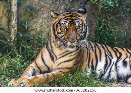 portrait tiger staring at the camera. - stock photo