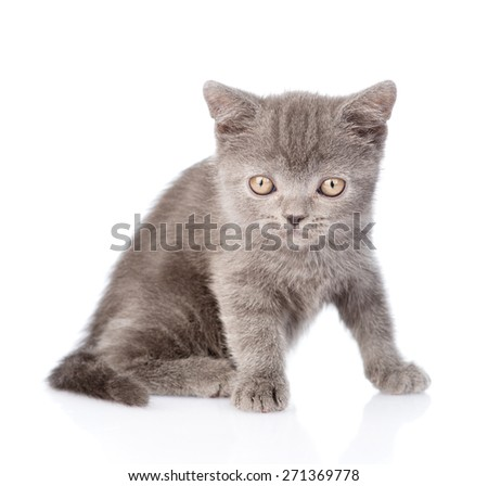 Portrait tiny gray kitten. isolated on white background