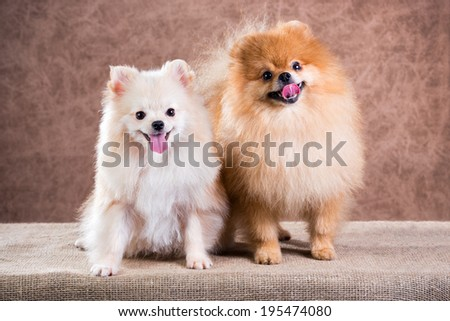 Portrait two Pomeranian dog on a abstract background   - stock photo