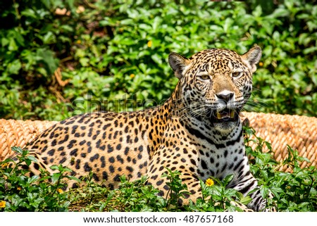 Portrait view of a male Jaguar