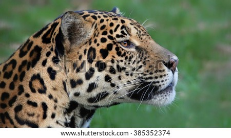 Portrait view of a male Jaguar (Panthera onca)