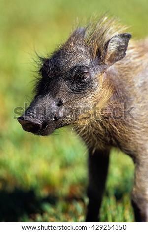 Portrait Warthog Piglet Erindi, Namibia, Africa - stock photo