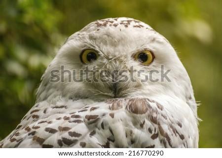 portrait  White snow owl - open eyes - stock photo
