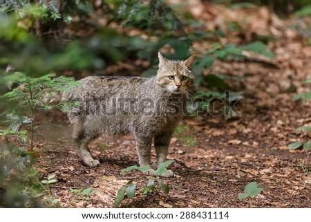 portrait  widcat im the wildness - stock photo