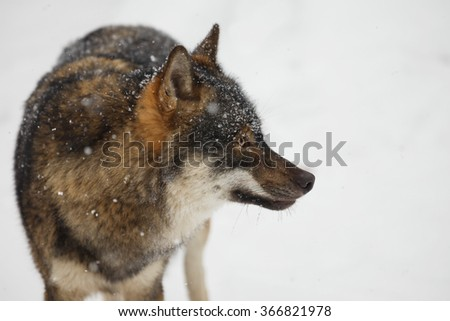 portrait wolf in snowy day - stock photo