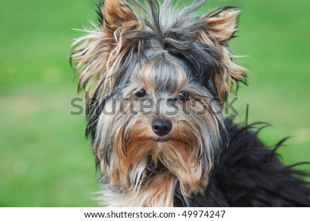 portrait yorkshire terrier close in sunny summer day at grass