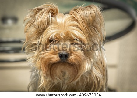 Portrait yorkshire terrier or yorkie needs a haircut or trim - stock photo