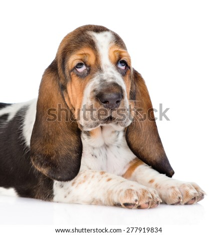 Portrait young basset hound puppy. isolated on white background
