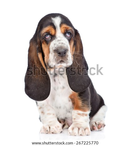 Portrait young basset hound puppy sitting in front. isolated on white background - stock photo