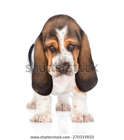Portrait young basset hound puppy standing in front. isolated on white background - stock photo