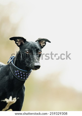 portrait young beautiful black whippet dog puppy - stock photo
