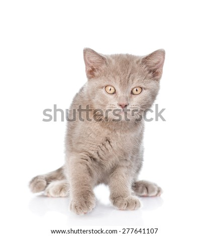 Portrait young gray cat. isolated on white background