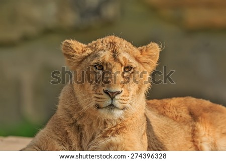 portrait young lioness
