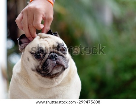 portraits close up of a small white fat lovely cute pug dog playing together with a boy that pull the pug's ears making funny face. - stock photo