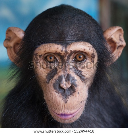 Portraits of chimpanzees.  - stock photo