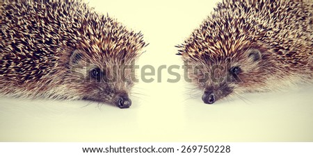 Portraits of two forest nice prickly hedgehogs - stock photo