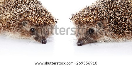 Portraits of two forest prickly hedgehogs on a white background. - stock photo