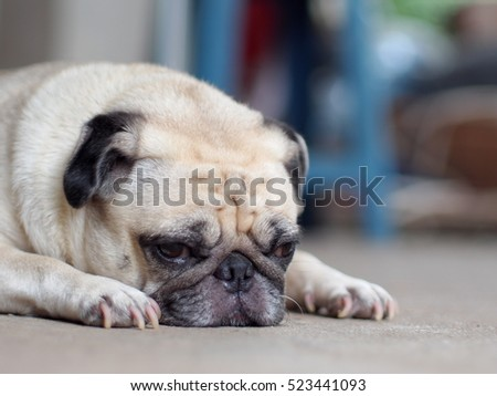 portraits photo of a lovely white fat cute pug dog laying flat on grey color concrete floor making sad and lonesome face under natural sunlight outdoor shallow depth of field, blur background