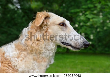 Portrate of white russian borzoi dog on a green background - stock photo