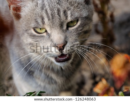 Portreit of grey cat meowing