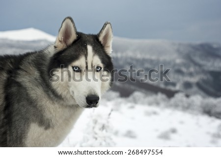 Portret of a Husky with blue eyes. Space for text. - stock photo