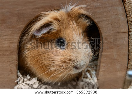 Portret of red guinea pig in her wooden house - stock photo