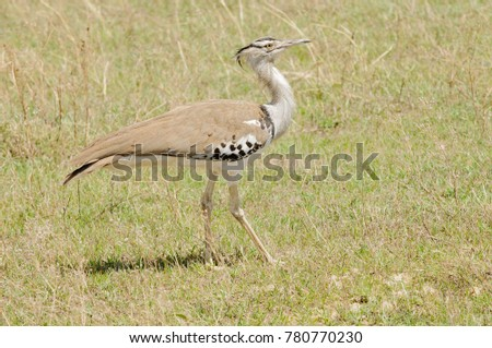Portrit of a Kori Bustard (Ardeotis kori struthiunculus) in the Ngorongoro crater