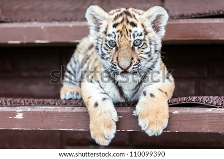 Porttrait of tiger cub on black background - stock photo