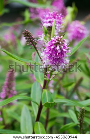 Portugal, Ponte de Lima. Portugal's national flower: Lamiaceae. Specie of the mint family. Lavender. - stock photo