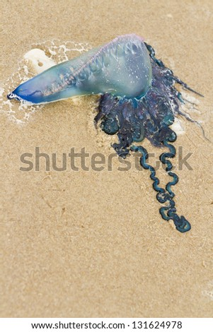Portuguese Man O War Jellyfish on the beach of South Padre Island, TX. - stock photo