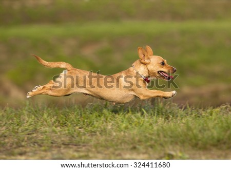 Portuguese Podengo dog - stock photo