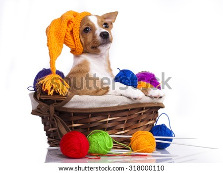 Portuguese Podengo puppy in gnome hat  - stock photo