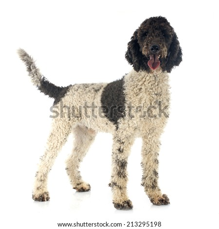 Portuguese Water Dog in front of white background - stock photo