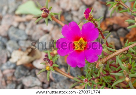 Portulaca grandiflora (eleven o'clock) is a flowering plant often cultivated in gardens - stock photo
