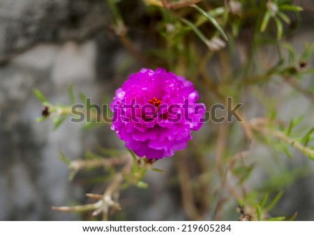 Portulaca  is the flower that well-growth in Asian countries. - stock photo