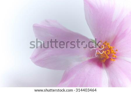 Portulaca, Moss Rose, Sun plant, Sun Rose on white background - stock photo