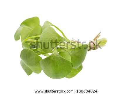 Portulak (Portulaca oleracea) on white background - stock photo